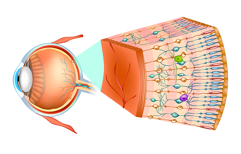 Figure 1: Structure of the human eye and organization of the retina.