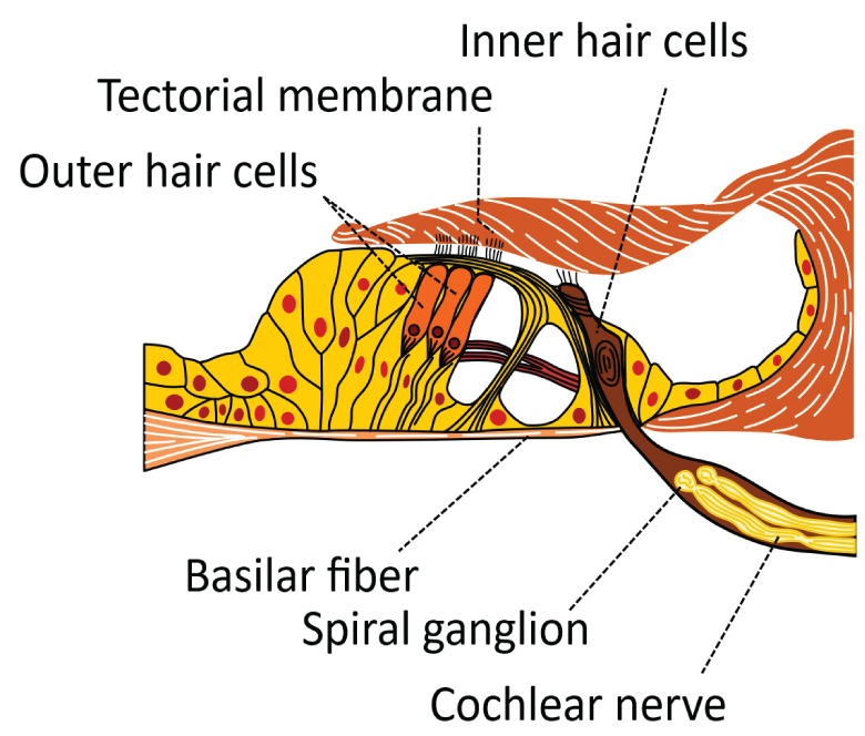 Section through the organ of Corti, showing inner and outer hair cells
