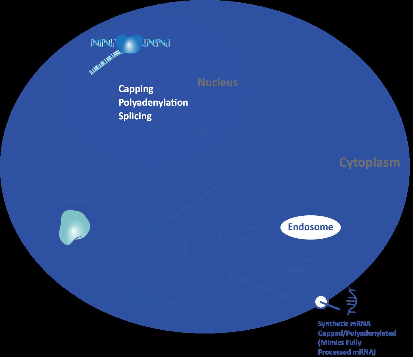 mRNA_basics